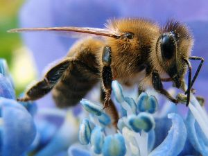 Honey bee, Western