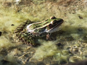 2. Green frog